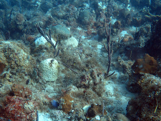 Deadly New Disease Attacking V.I. Corals Right Now