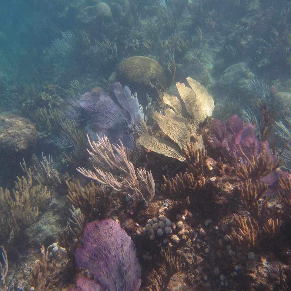 Foto de octocorales blandos