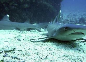 La sobrepesca ha acabado con los depredadores de peces en arrecifes del Caribe