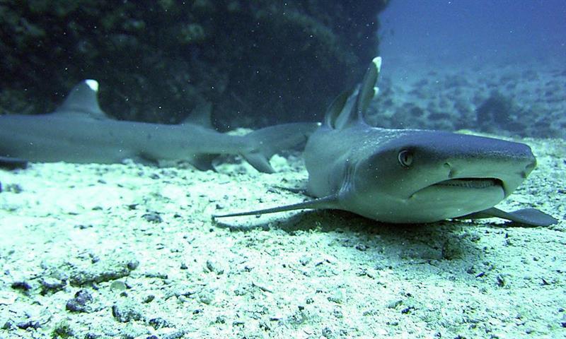 Tiburones, barracudas, meros y otros depredadores de peces prácticamente han desaparecido de los arrecifes del Caribe debido a décadas de sobrepesca, según un estudio divulgado hoy por la publicación Science Advances. EFE/ARCHIVO/Houssine Kaddachi/Oceana
