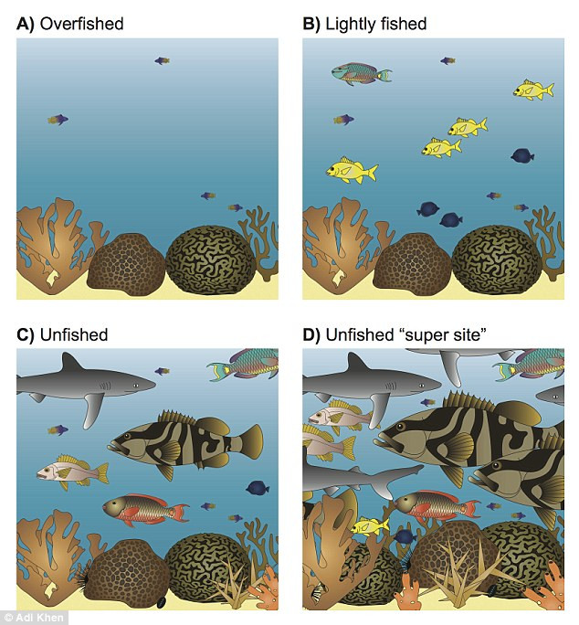This is an illustration of the relative fish biomass on reefs varying in fishing intensity and natural capacity to support large predatory fishes. Researchers suggest that they could use large reefs, known as 'supersites' (bottom right), to recover predatory fish populations Read more: http://www.dailymail.co.uk/sciencetech/article-4272008/Over-fishing-wipes-90-Caribbean-predatory-fish.html#ixzz4aHBABsKr  Follow us: @MailOnline on Twitter | DailyMail on Facebook