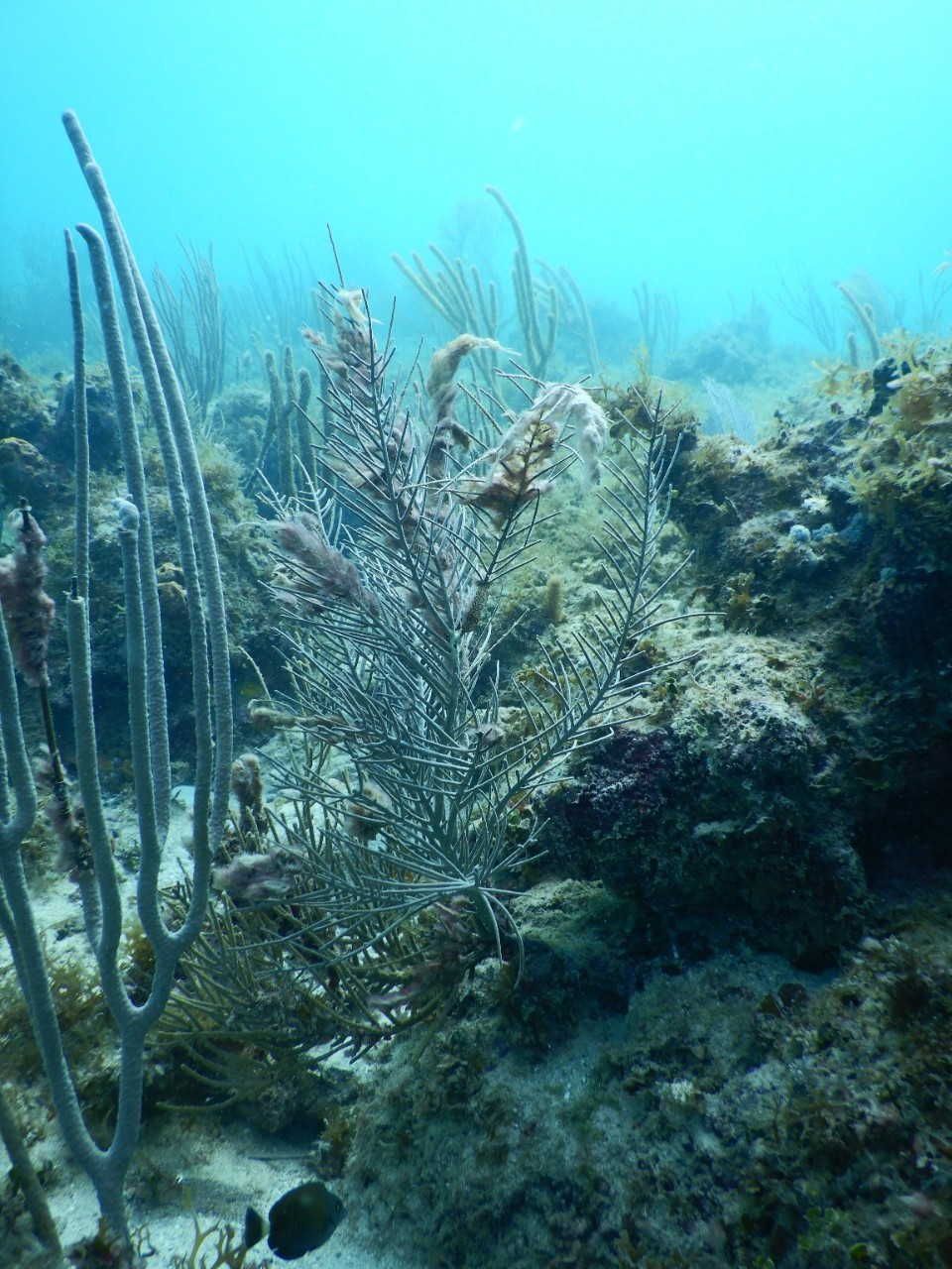 Damaged gorgonian corals on a reef on St. John, U.S. Virgin Islands. The wispy, white strands clinging to the edges of the coral are harmful cyanobacteria, which have grown on injured areas.  Photo: Howard Laske