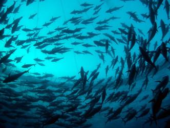 ¿Qué le sucede a la salud de los humanos cuando comemos peces que han sido alimentados con cultivos?