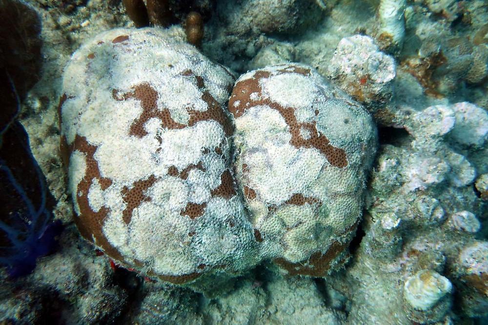 Aunque los patrones de esta enfermedad se han observado en corales de Puerto Rico, Recursos Naturales no puede afirmar que se trata de esta condición.  Suministrada / Edwin Hernández