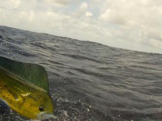 Pescando, etiquetando y liberando en favor de la conservación de los peces dorado