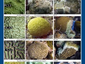 MPAConnect y AGRRA lanzan interface de usuario para enfermedades de corales en el Caribe