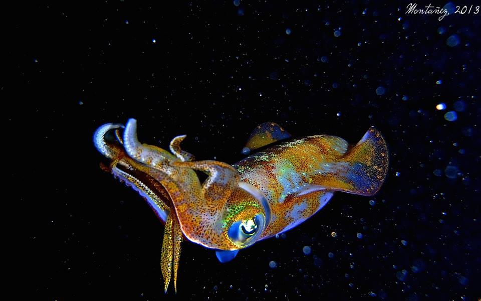 Calamar caribeño con su espectáculo