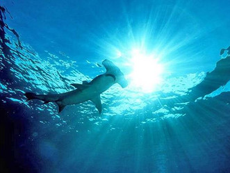 Florida sharks worth more alive than dead, study finds