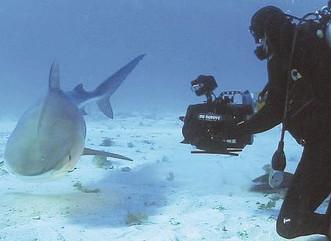 Destacarán el valor de los tiburones en Fajardo