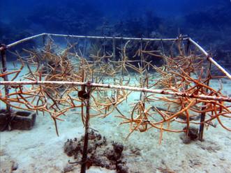 Proyecto en UPR-Río Piedras desarrollará modelo científico para restauración de arrecifes de coral y