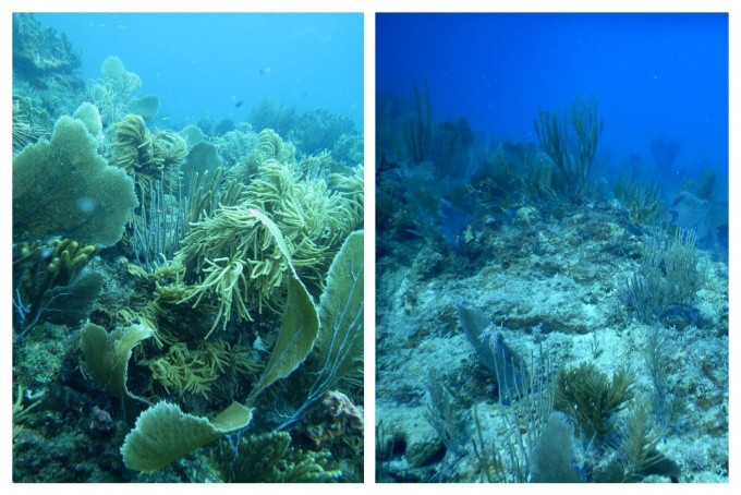 Before and after views of a coral reef off the coast of St. John, U.S. Virgin Islands. The reef, vibrant and full of life, is pictured in 2013 (left). The same reef is shown from a different view in 2017 (right), after hurricanes Maria and Irma tore through the region. The reef is now more sparsely populated, with many coral colonies either severely damaged or swept away. Photo: Howard Lasker