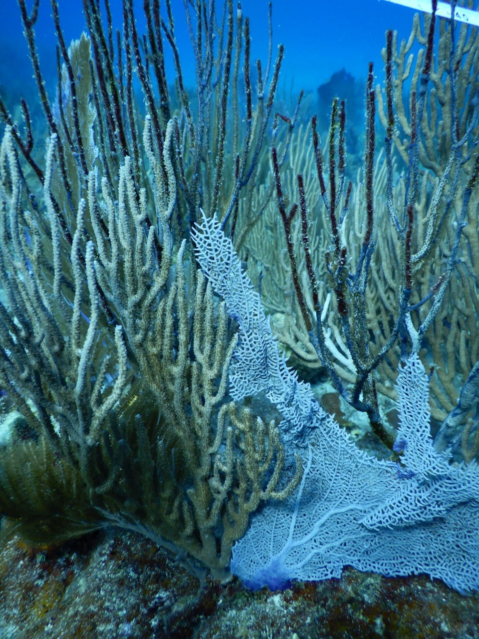 Damaged gorgonian corals on a reef off the coast of St. John, U.S. Virgin Islands. The living tissue on many of the branches has been chipped or torn off, leaving only the dark non-living core of the branch. Photo: Howard Lasker