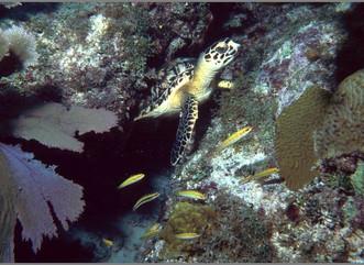 Proyecto Carey en Isla de Mona, uno de los más longevos y continuos del mundo, reporta 700 nidos de