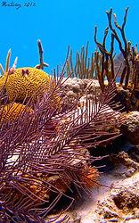 Corales de Icacos