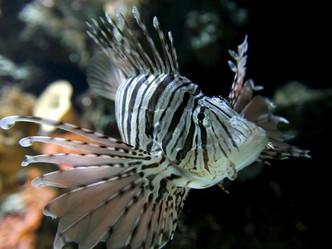 Costa Rica le declara la guerra al pez león