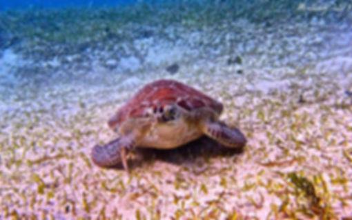 Tortuga marina Culebra