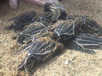 Nace el primer grupo de tinglares en Playa de Maunabo