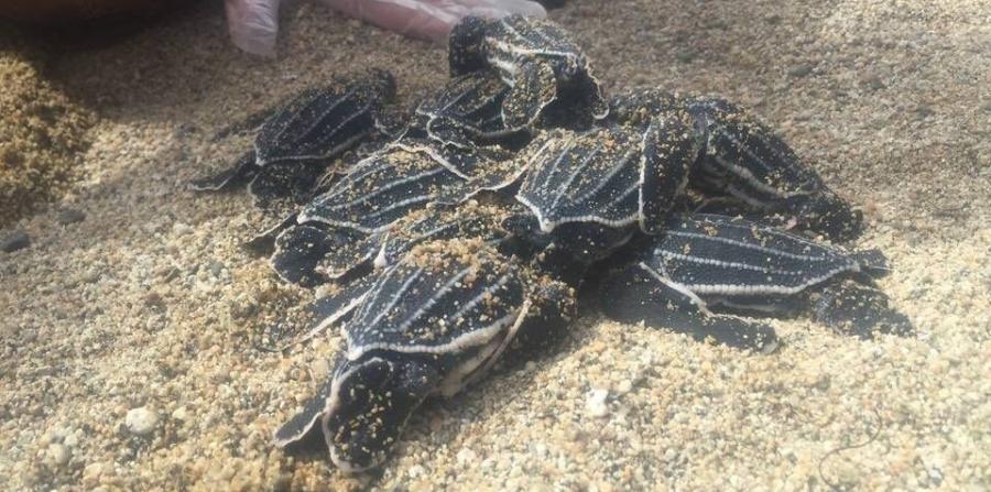 El nido que eclosionó tenía 74 huevos, de los cuales salieron 48 crías. (Suministrada)