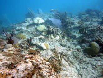 Alertan de mortífera condición que ataca los corales