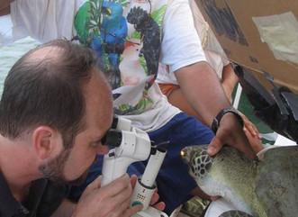 El virus fibropapillomatosis en el peje-blando del Archipiélago de Culebra