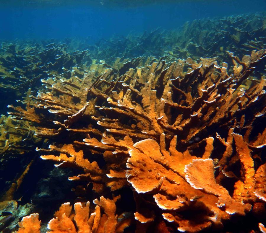 Parche de crecimiento saludable del coral Cuerno de alce en la costa de Vega Baja. (Suministrada / Oficina de Prensa UPR Río Piedras)