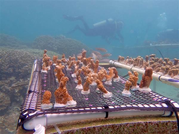 Coral fragments in Hawaii before transplanting. Shayle Matsuda