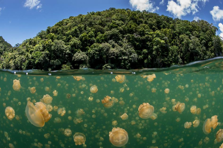 The Pristine Seas team surveyed a lake harboring millions of jellyfish Palau's greatest tourist attraction.