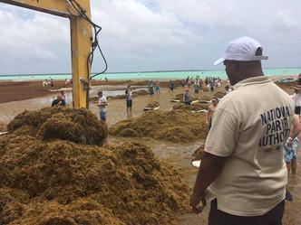 Huge influx of Sargassum on Bonaire east coast
