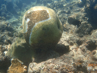Pierluisi anticipa decretar un estado de emergencia ante el estado de corales marinos