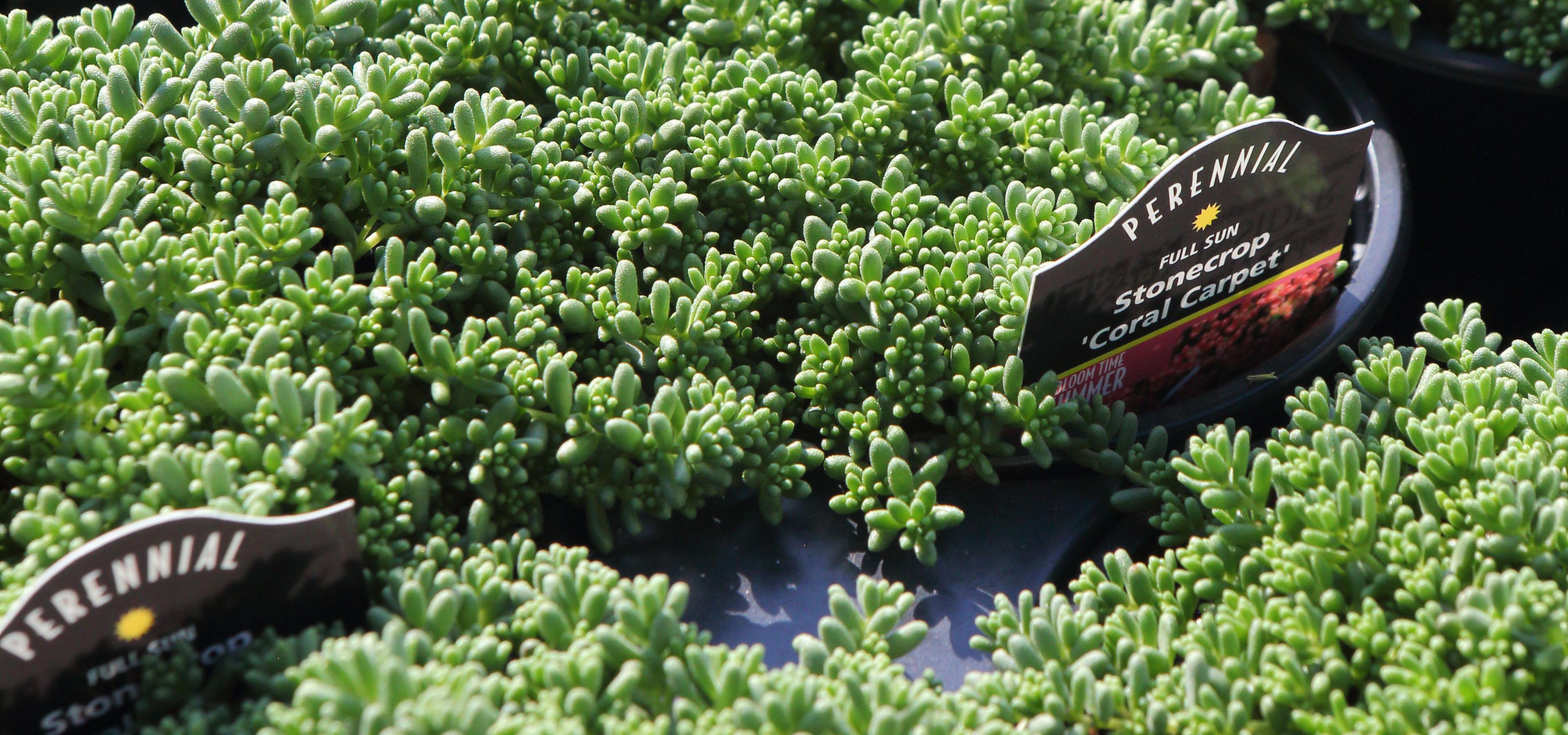 Stonecrop 'Coral Carpet'