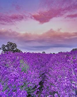 Lavender Field Kristography.jpg