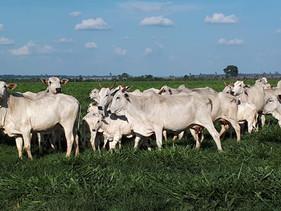 Manejo eficiente de pastagem torna fazenda em Rondônia mais produtiva
