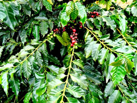 Inseticida reduz em76%aincidência do Bicho-mineiro-do-café