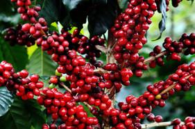 Florada do café requer atenção especial