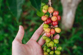 Pacote tecnológico utilizará imagens  de satélite para ajudar cafeicultor a assegurar lavoura