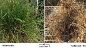 Novo herbicida controla azevém na dessecação pré plantio da lavoura de trigo