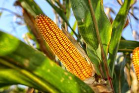 Mudanças climáticas afetam contratos internacionais de milho