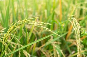 Inoculante biológico eleva a produtividade das lavouras de arroz e diminui a necessidade de adubação
