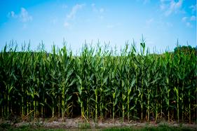 Bioinoculante eleva a produtividade da soja e do milho