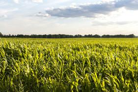 Produtor pode evitar perdas no milho por nematoides