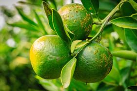 Oxicloreto de cobre blinda pomar de citros