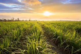 Aumento da área da cana-de-açúcar nesta temporada é a maior das últimas cinco safras