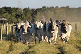 Uberaba recebe o maior leilão de animais de elite com seguro do Brasil