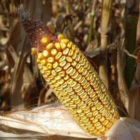 Brazil to double Corn-Based Ethanol Production in 2018