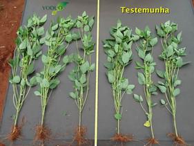 Novo bioestimulante ajuda no aumento de produtividade da soja