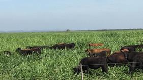 Fazenda quadriplica lotação de animais por hectare com correto manejo de pastagem