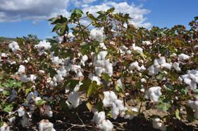 Tecnologia da Ubyfol ajuda no enchimento de maças do algodoeiro
