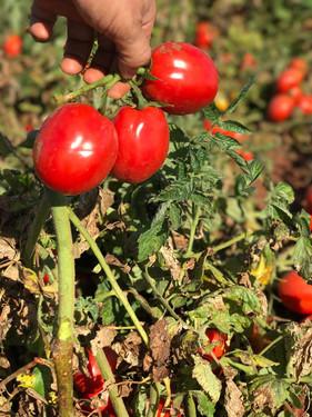 Pivôs alavancam produção de tomate em Goiás