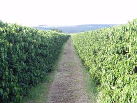 Produto contribui para o aumento da eficiência  dos fertilizantes nos cafezais