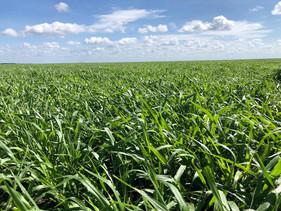 Fazenda aumenta produtividade da lavoura e amplia área de gado com uso de sementes forrageiras em si